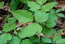 Stop the Sting of Poison Ivy Fast and Naturally