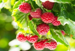 Health Benefits of Raspberries and How to Eat More