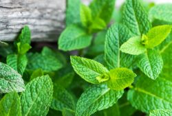 3 Lemon Balm Recipes and Other Great Ways to Use Lemon Balm