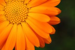 7 Ways to Use Calendula For Health